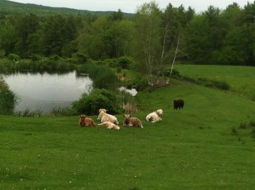 Funny cows!